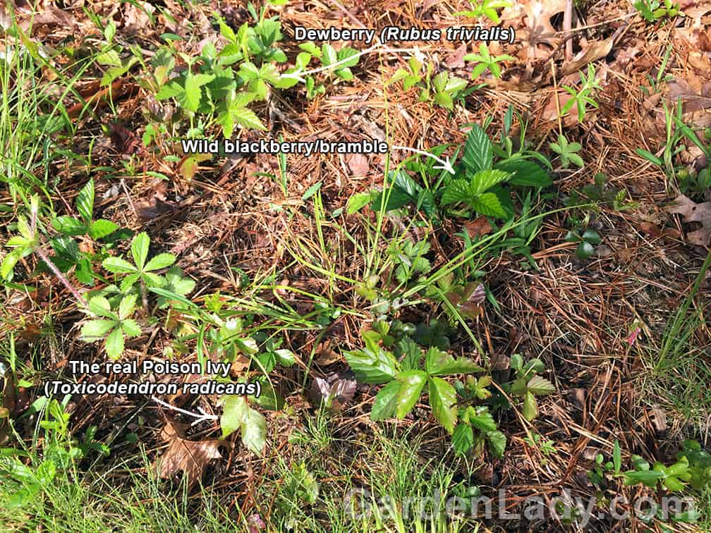 In this one small roadside area is poison ivy and two others with leaves of three.