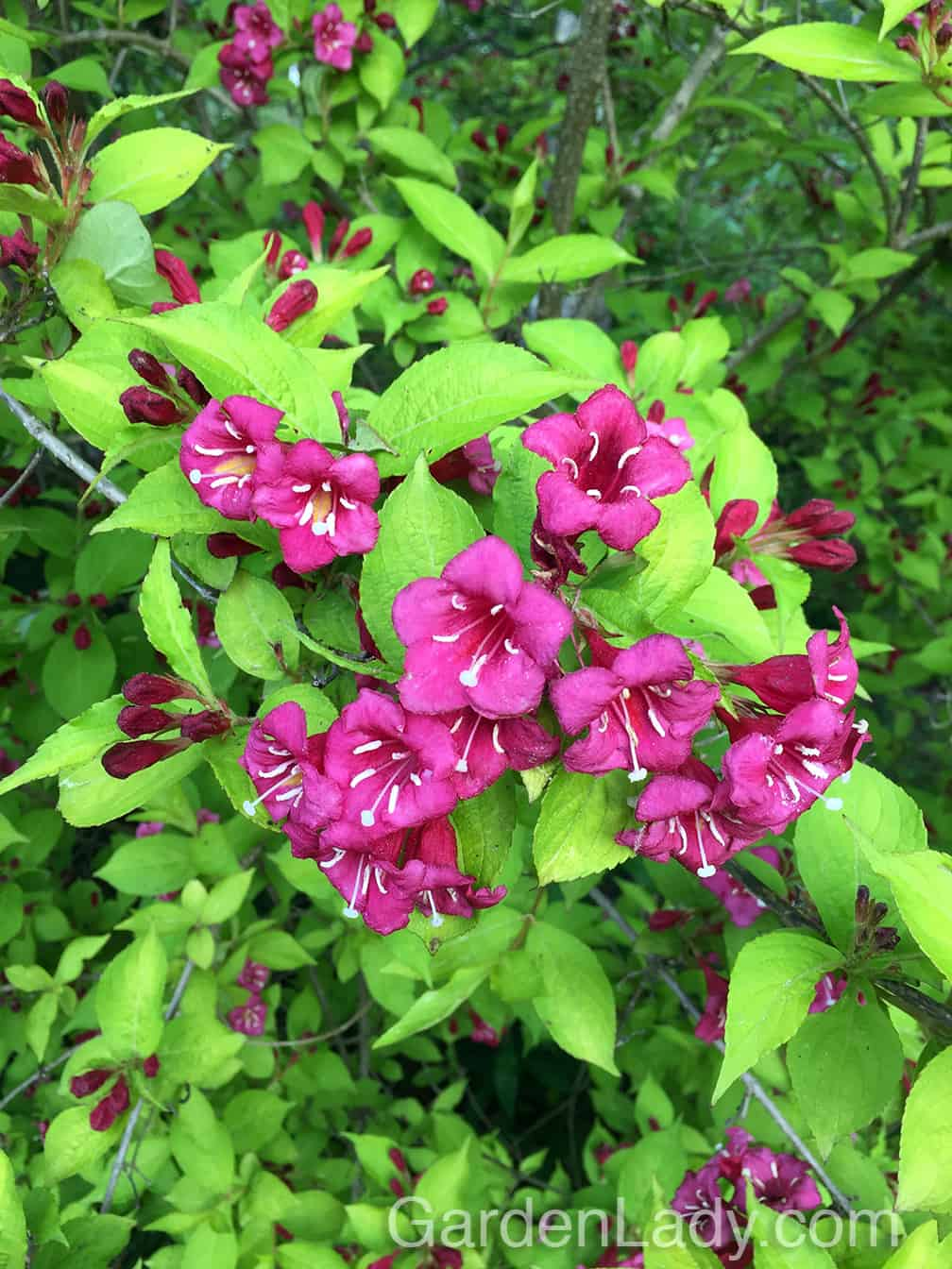 """Weigela shrubs are in their glory in early June, and there are many wonderful varieties. This one is 'Rubidor' and it has lime colored foliage with bright pink flowers. It's a large, sprawling """"POW!"""" plant and I can't understand why it's not more widely available in garden centers. A must-have plant in a flowering shrub border or mixed-shrub privacy planting."""