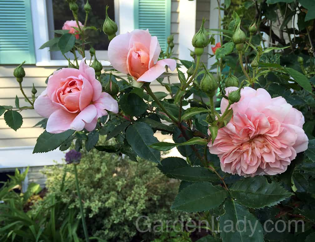 And of course, what would early June be without roses? This is my favorite smaller climbing rose, 'Collette' - not as huge as 'New Dawn' so great for smaller arbors and trellises. It's also a reliable re-bloomer when deadheaded. AND, it's fragrant! Disease resistant too.