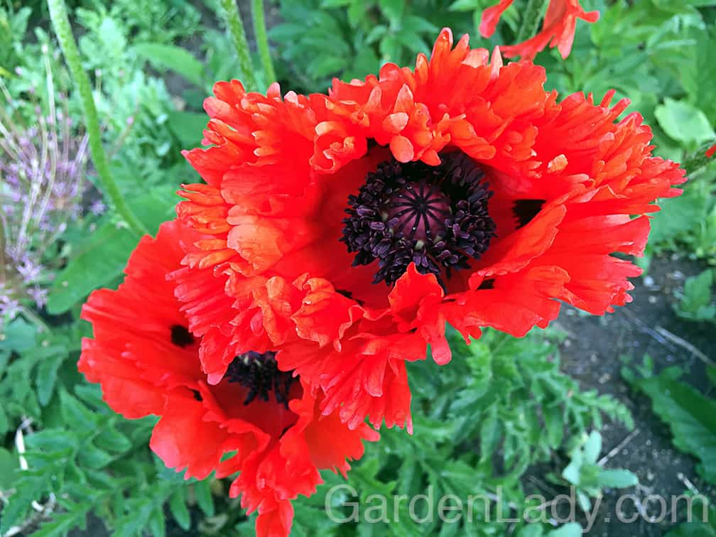 """The oriental poppies are doing their loud, exuberant thing. They are brilliant from a distance and wonderful up close. I've always felt that these poppies call to us in June, saying """"Let's put on lipstick and go OUT!"""""""
