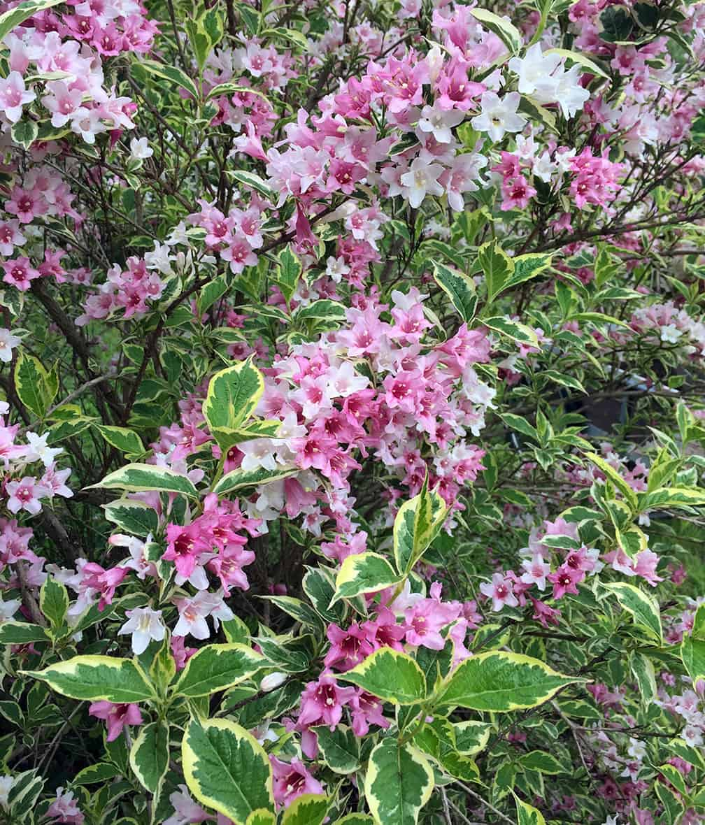 And speaking of Weigelas you can't live without... Weigela florida 'Variegata' is lovely and variegated. How can you possibly say no?