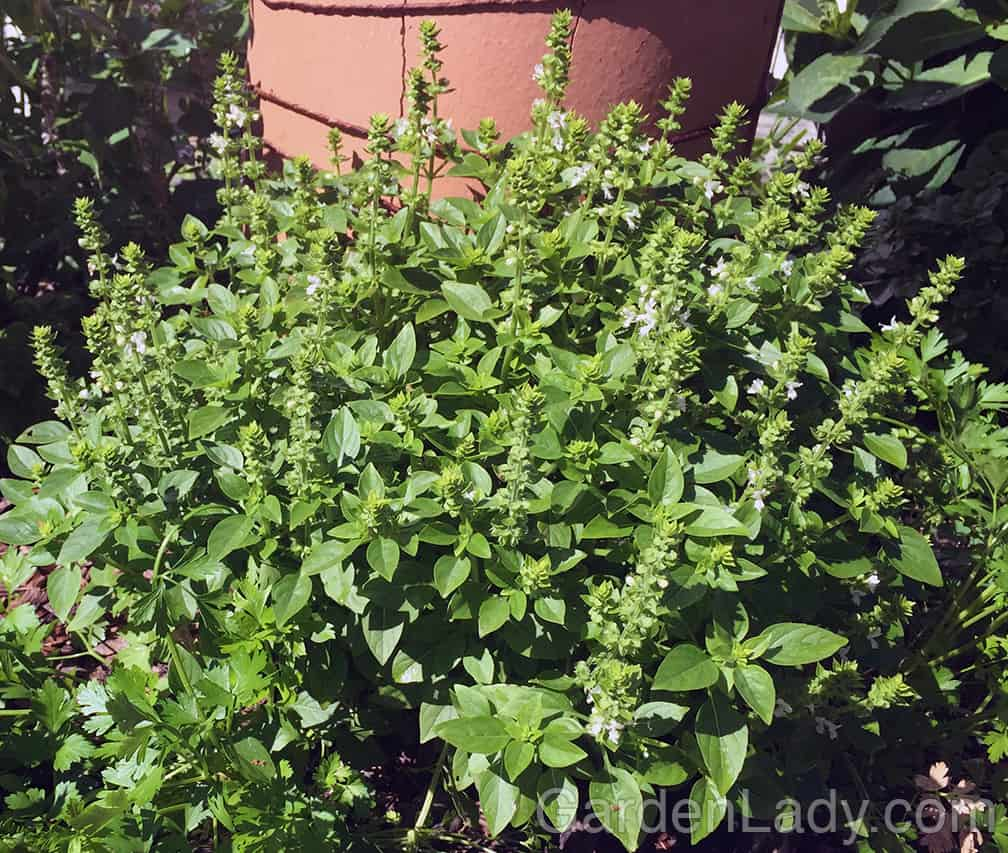 Another herb for the small Cocktail Hour Garden is Lemon Basil. Fragrant, tasty and resistant to Basil Downy Mildew, not to mention compact and pretty in a pot.