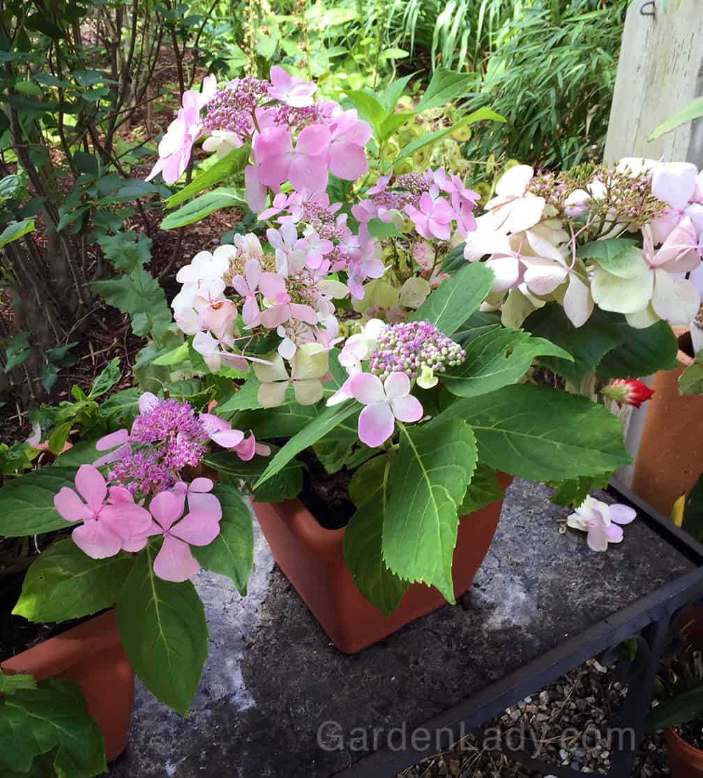This is a shorter growing lacecap with HUGE flowers. It's called Let's Dance Diva (just Diva to her friends).