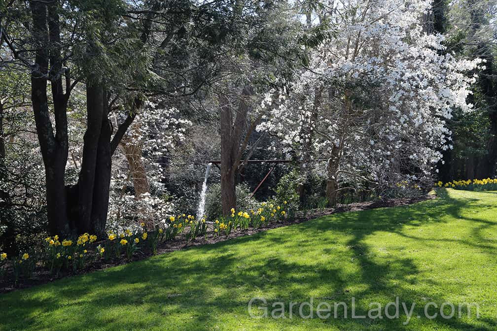 This star magnolia is one of several at Heritage Museums and Gardens in Sandwich, MA. Heritage is a great place to go to see mature trees so you'll know if a particular variety is appropriate for your property.