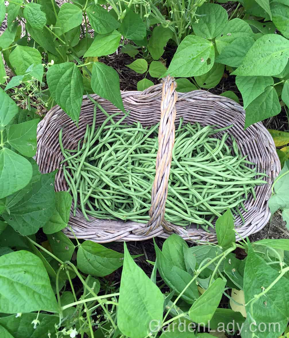 If you want to feel wealthy, plant a couple of rows of Maxibel beans. Plant seeds - don't expect to buy these as plants in most garden centers.