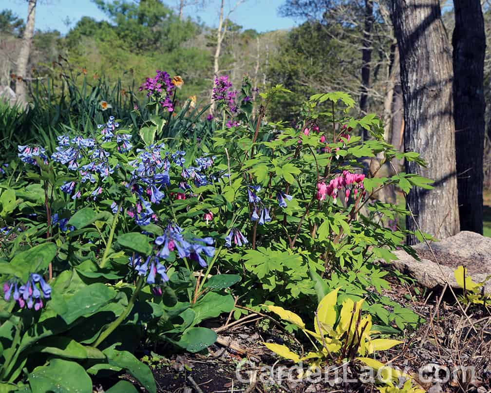 The blue Mertensia flowers are perfect with pink bleeding heart or tulips.