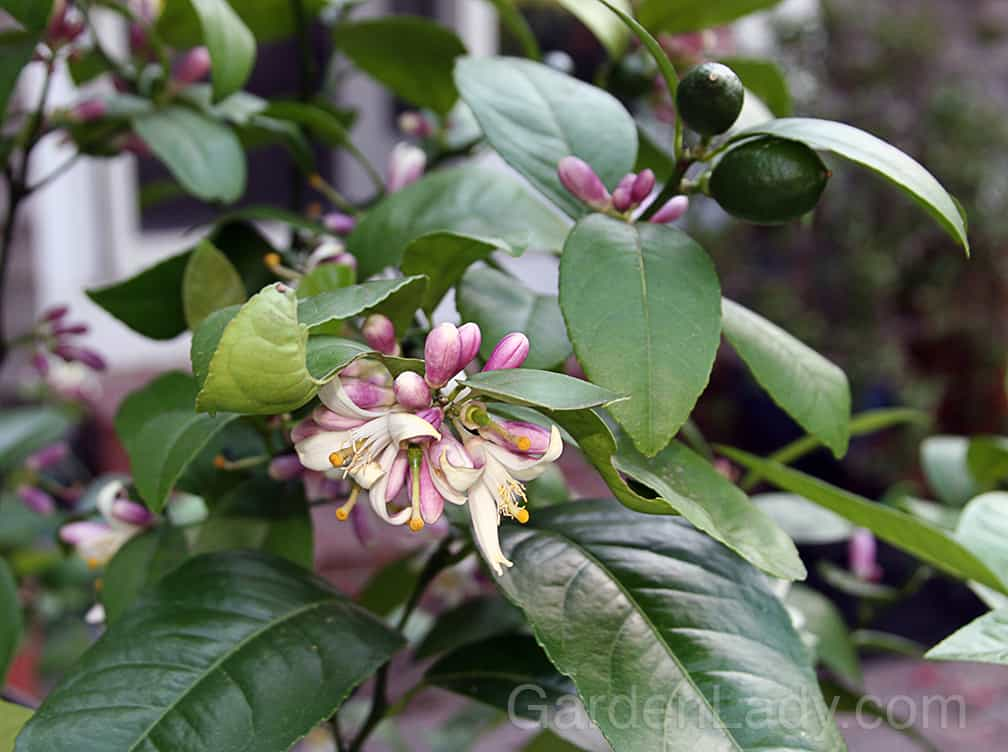 If you grow a Meyer Lemon in a pot you'll have highly fragrant flowers in the evenings and lemons later on. This plant needs to come inside in cold climates.