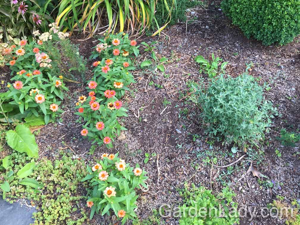 Look at all that valuable real estate where more Profusion Zinnias can be planted!