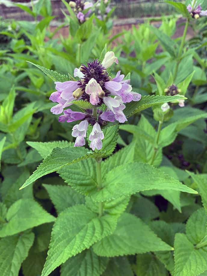 I Love Nepeta subsessilis 'Grandview' – Perennial For Cut Flowers & Bees
