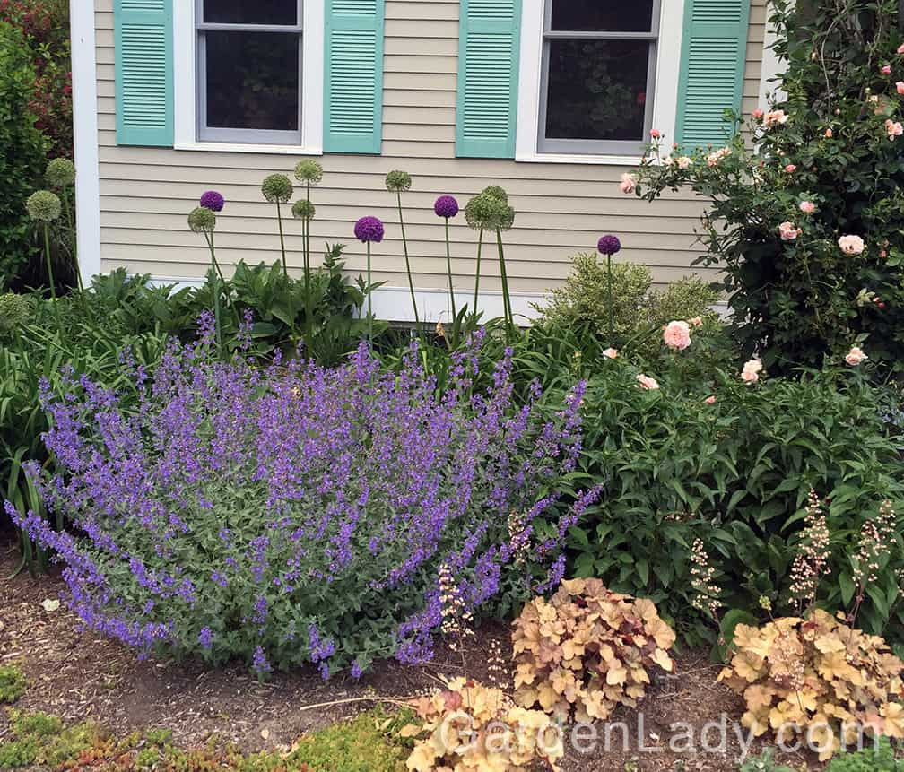 Walkers Low has very large and showy lavender-blue flowers.