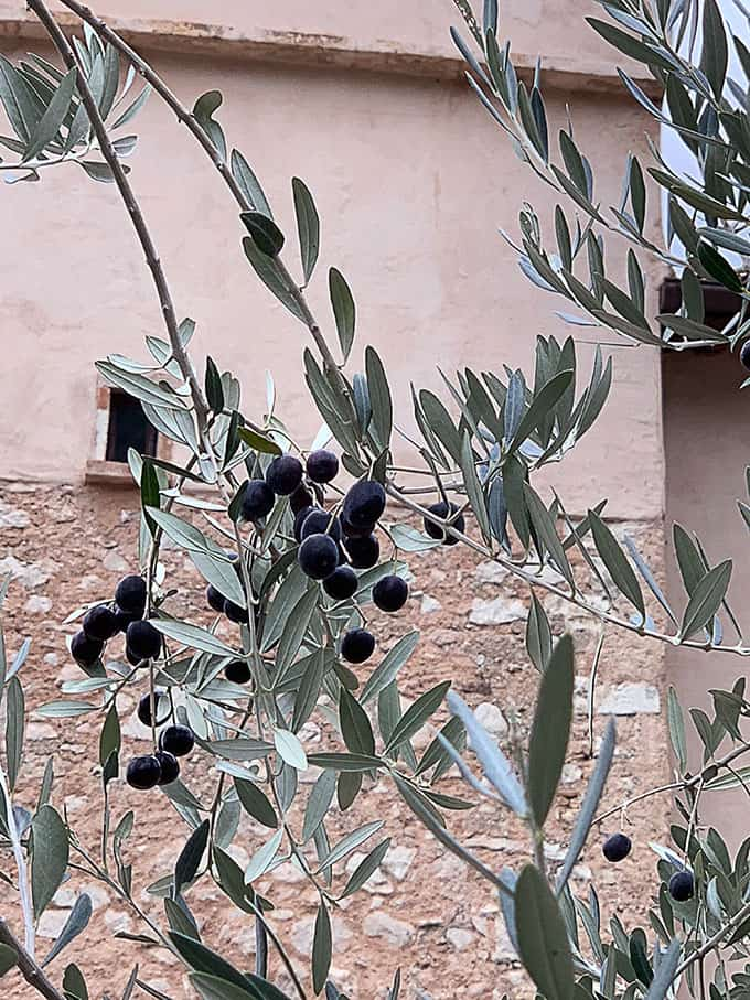 I Love the 'Leccino' Olive Tree
