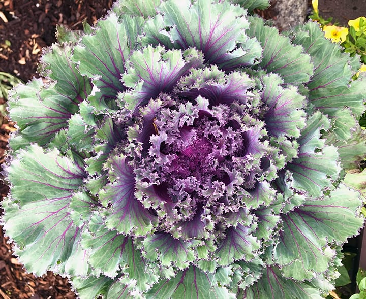 Gardenlady Com I Love Ornamental Cabbages And Kales