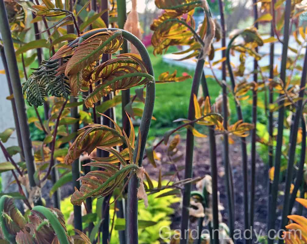 And talk about a spectacular unfolding! Ferns, particularly the not-so-frequently-grown Osmunda regalis, aka royal fern, is dramatic from when the emerging fronds are covered with white, web-like tissue to when they are unfolding into their tall, graceful fronds.