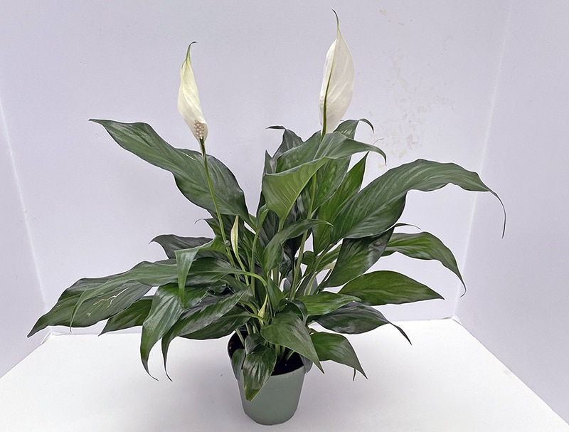 I Love the Peace Lily aka Spathiphyllum