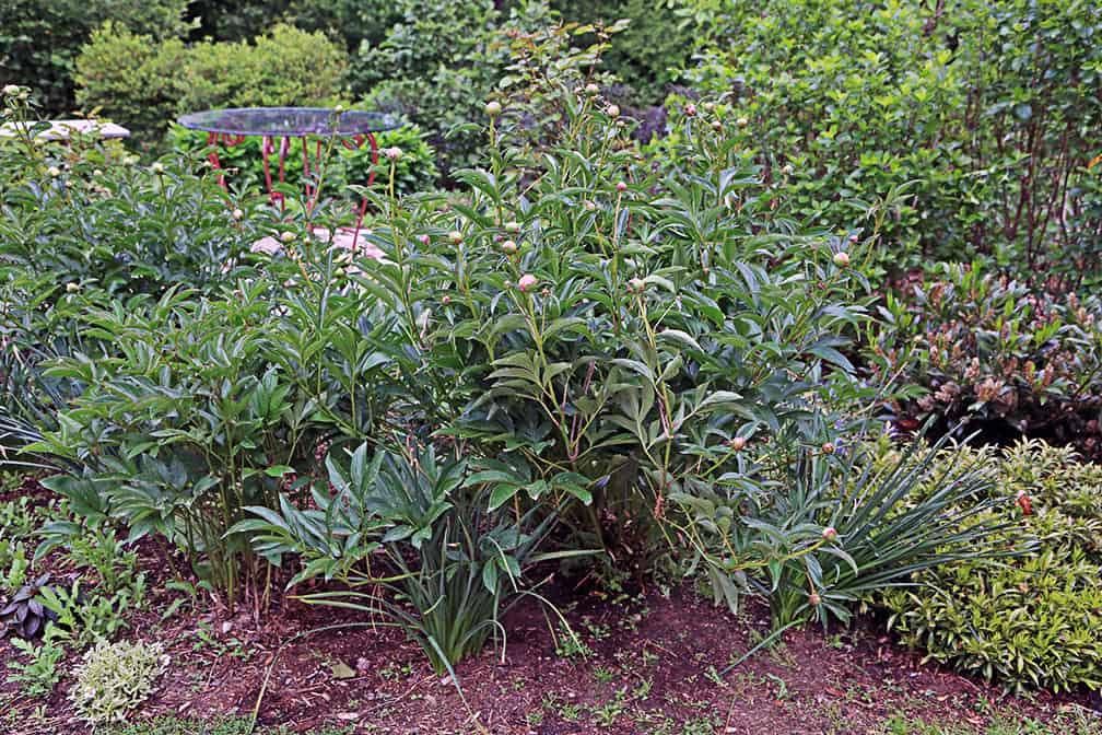 How to Stake A Flopping Peony – Attractively!