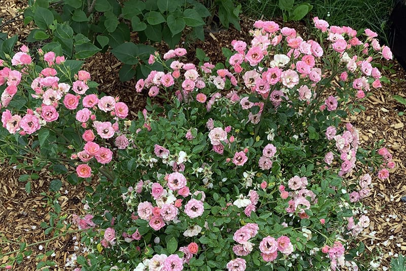 I Love The Oso Easy Petit Pink Rose