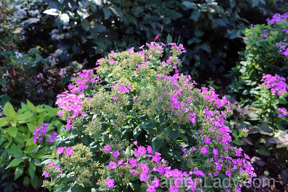 Here is a Volcano Purple Phlox that is just starting to go by. This plant will produce many more huge flower stems (more than most Phlox paniculata!) if the old ones are cut off promptly.