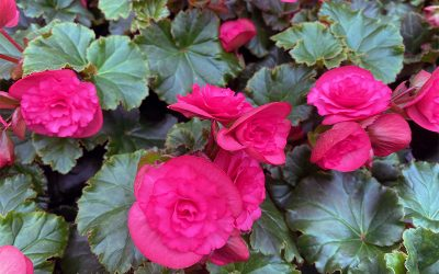 I Love The Rieger Solenia Series Begonias