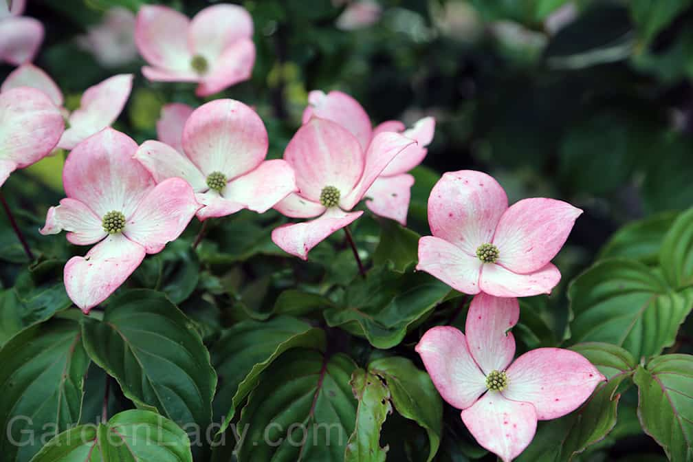 Cornus kousa is a pretty problem-free tree in most places. I love the two-tone aspect that the 'Satomi' flowers have.