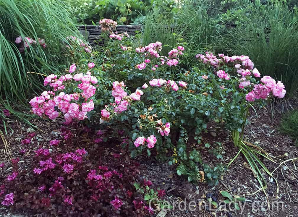 This is how this rose looks in the garden in mid-July. It has been in bloom since mid-June!