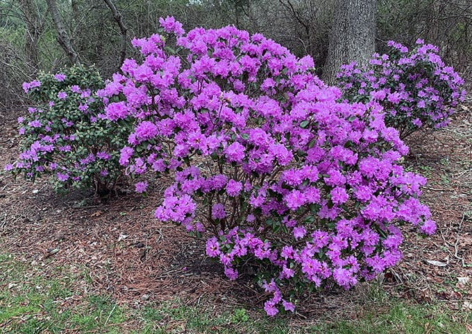 I Love Rhododendron 'P.J.M.'