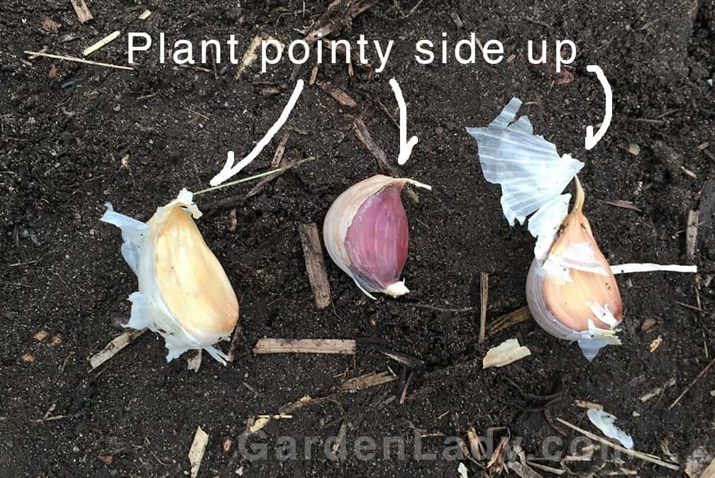 Here is how the cloves look once they are separated from the head. Pictured here are three different garlic varieties. From left to right they are Music, Purple Italian, and Spanish Roja. These get planted with the slightly flat, or root side down and the pointy ends up.
