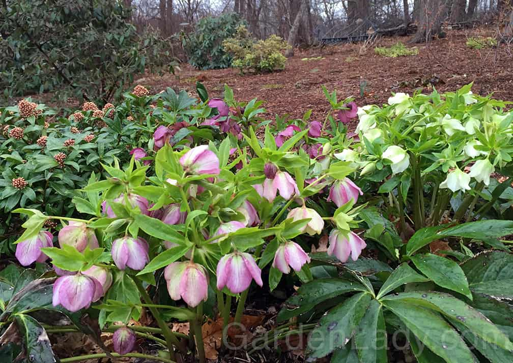 These plants are from www.LentenRose.com - they are especially lovely this winter since they haven't been constantly buried by snow.