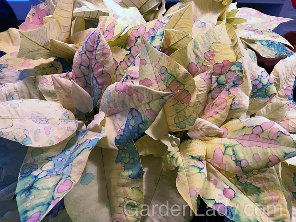 And if the color can't be naturally grown, the white Poinsettia makes an ideal canvas for spray paints, water colors, glitter and more. Why stop at painting on canvas or paper when you could also express yourself on plants?