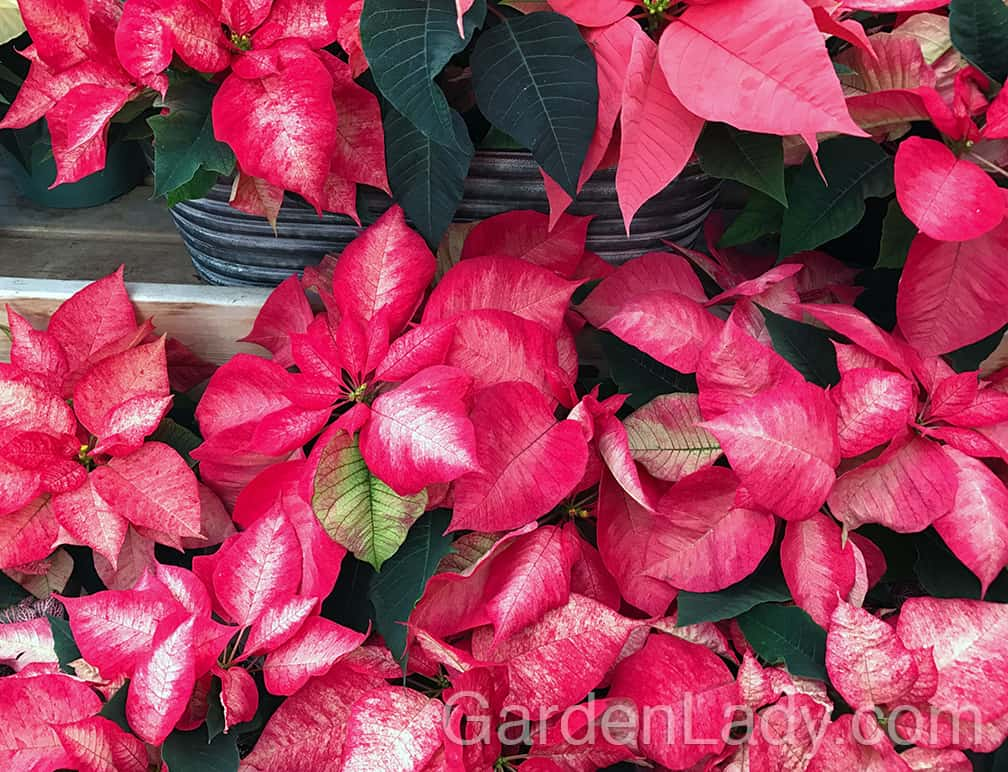 There are new colors of Poinsettia plants being introduced every year. Pink, white, red and beyond....WAY beyond.