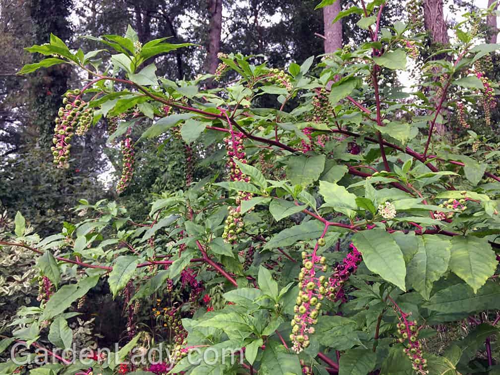 """Let it be said that I don't let every pokeweed grow where they sprout...I pull many of them out, as I do most weeds. You can appreciate a plant but still say, """"Sorry, you can't grow here."""""""