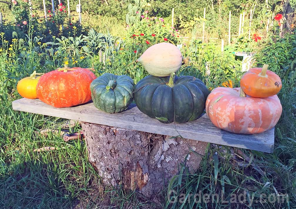 Our pumpkins and squash might have taken over most of the garden, but they've produced some lovely fruit! We've grown pumpkin pies, winter squash soup and a coach for Cinderella.