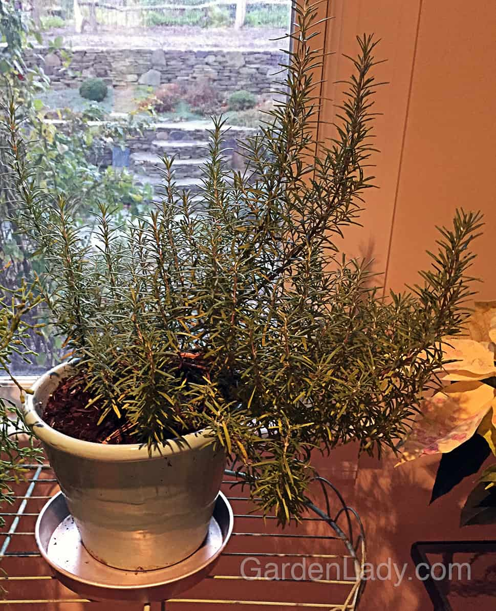 """Herb lovers have a saying: """"A dry rosemary is a dead rosemary."""" Sometimes this plant will need watering every three to five days indoors - often more often than your other houseplants."""