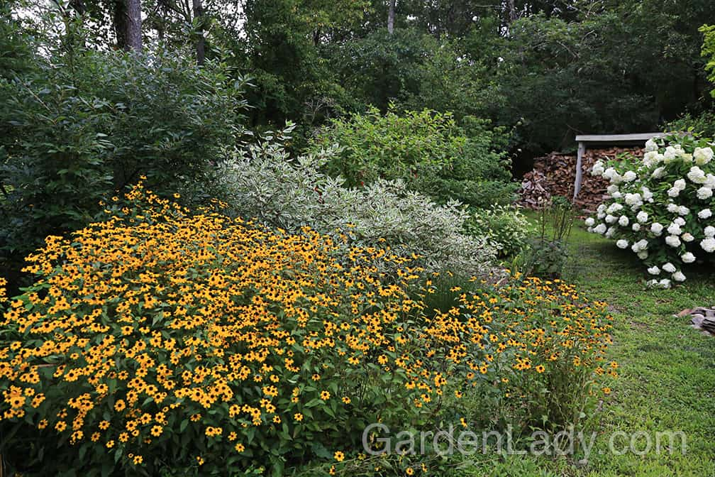I have this plant growing on the edge of my rain garden. The seedlings that fall inside the rain garden get flooded whenever there are downpours, and this Rudbeckia doesn't seem to mind at all.
