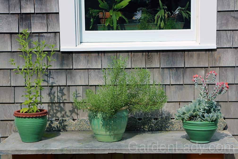 """When grown outside in a container Salem rosemary grows quickly. This is a photo I took in August and the rosemary plant in the center was purchased in late-May as a 5"""" tall, small plant."""