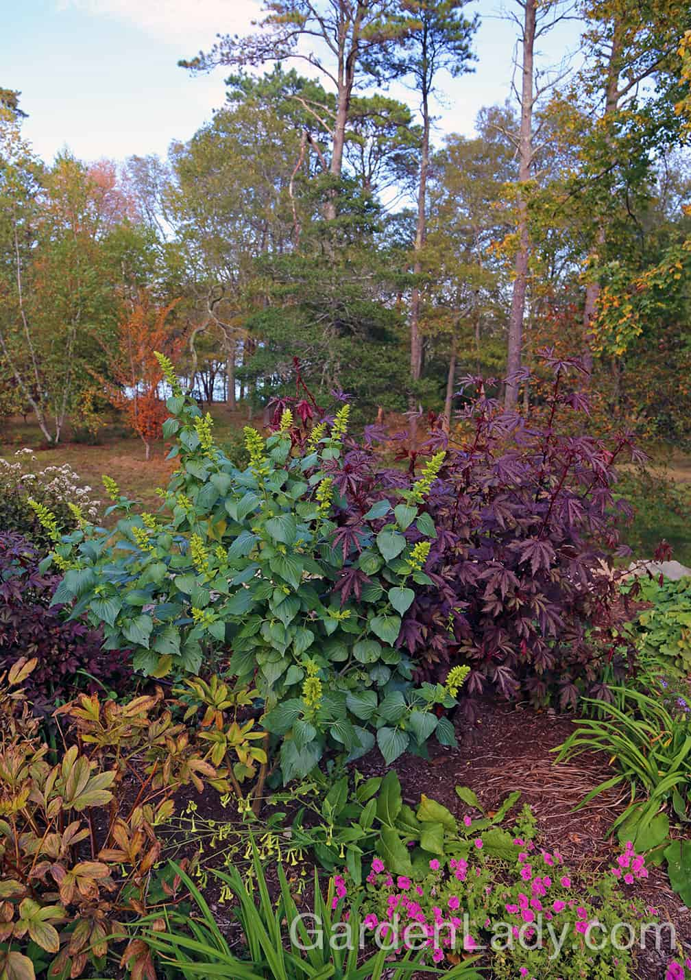 Other annuals for cold-climate fall gardens are Salvia mexicana 'Limelight' and Hibiscus acetosella. The salvia starts to become showy as the lime-green bracts form, soon to be ornamented with bright blue flowers. When this plant is placed next to the burgundy-leaved Hibiscus acetosella, you have an eye-catching combination.