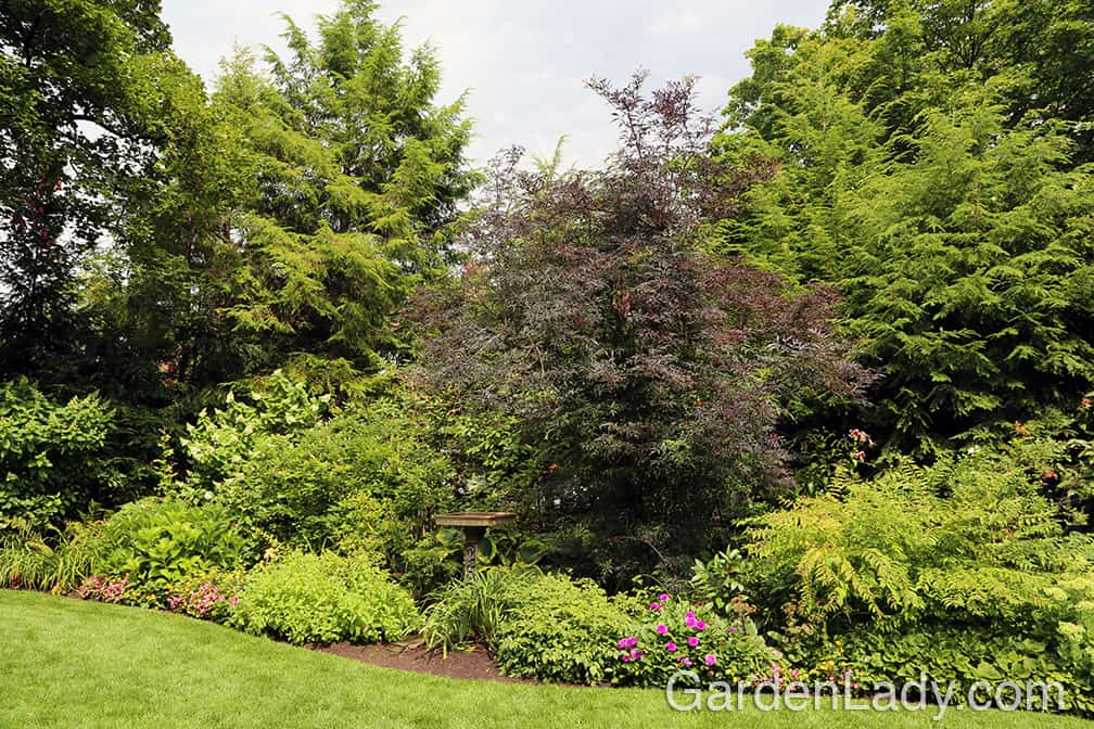 This is a Black Lace Sambucus that I saw in a Pittsburgh garden two years ago. It was well over 12 feet tall.