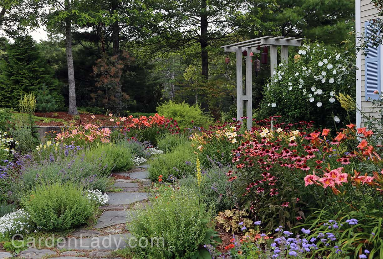 Here's a garden shot showing 'South Seas' on the right of the path and on the left. See how well this daylily works with Echinacea 'Even Saul', Calamintha, Nepeta and 'Blue Horizon' Ageratum.