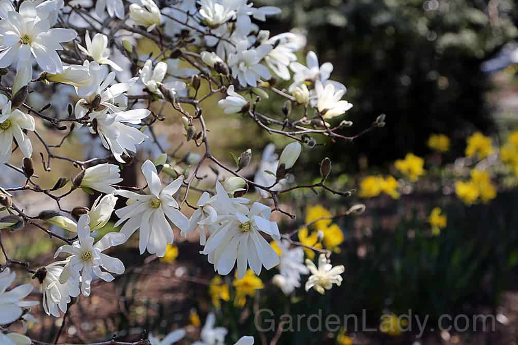 This magnolia is named for the star-like flowers that appear in the very early spring.