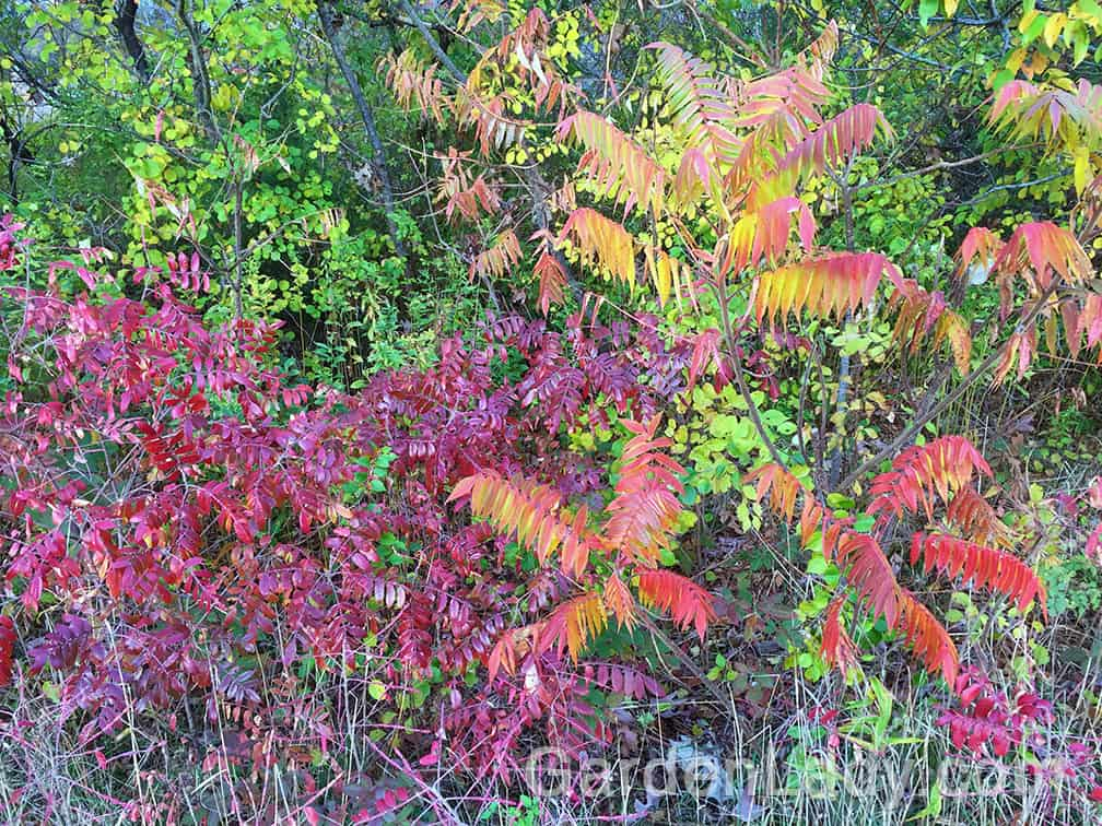 Now I know that these aren't plants that most will want growing in a small yard, but I'm posting this photo of two Sumac varieties to remind you to cherish the native color growing on the roadside. Smooth sumac and staghorn sumac are brilliant in the fall!
