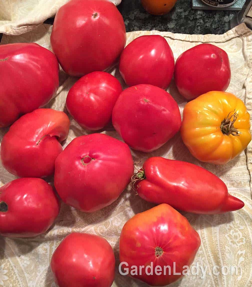 In August and September we harvest tomatoes daily. At this writing, our freezer is nearly full. Did some go unharvested? Of course! There are always the ones you miss, or that the crows pecked the bottom of before you got to them. And this year I have a ton of a current-sized variety someone sent me to try. There are zillions of them, but frankly, we found them not worth picking...too tough, not very flavorful, and difficult to get off the vines.