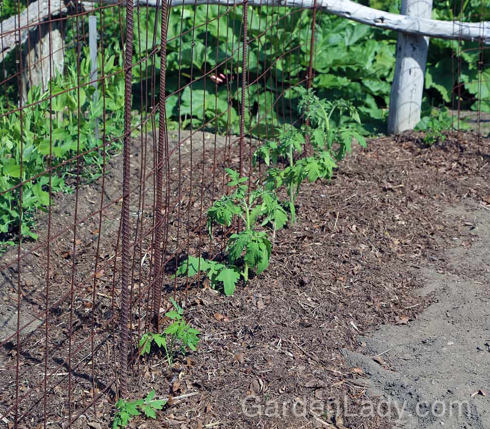 Start from day one! When planting your young tomato plants, remove the leaves that might touch the ground so that there are fewer opportunities for early blight fungus to make contact with the plant. Secondly, mulch around your newly planted tomatoes immediately. In our garden we use chopped leaves and pine needles - you can use the mulch of your choice, but apply it immediately after planting. Next, spray those newly planted tomatoes with the organic fungicide of your choice. Commonly available products include sulfur, or bacterial based formulations such as Serenade or Actinovate.