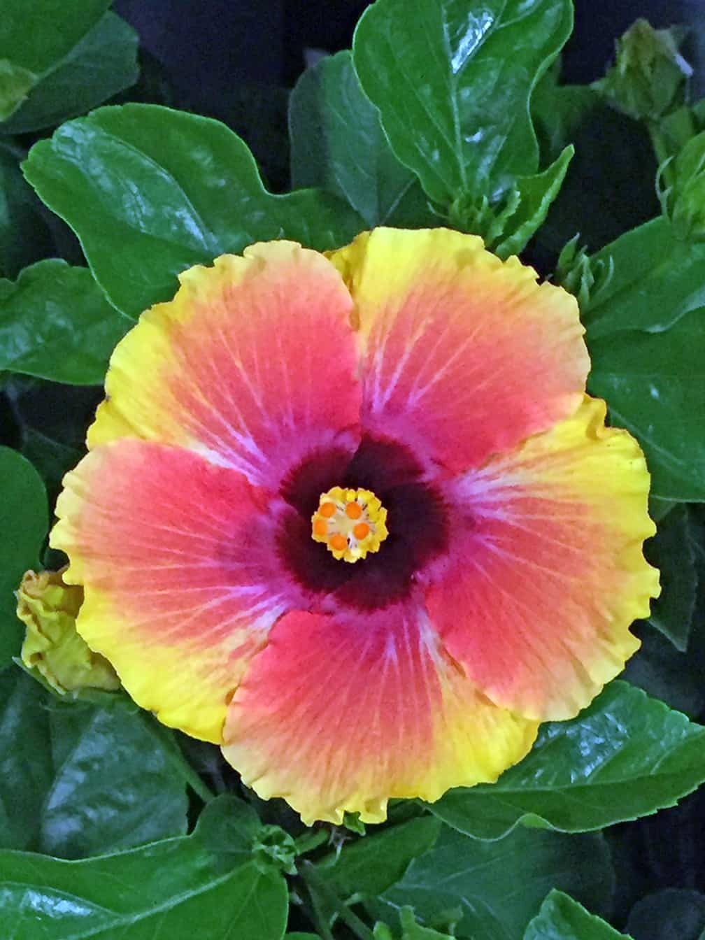 I Love Tropical Hibiscus