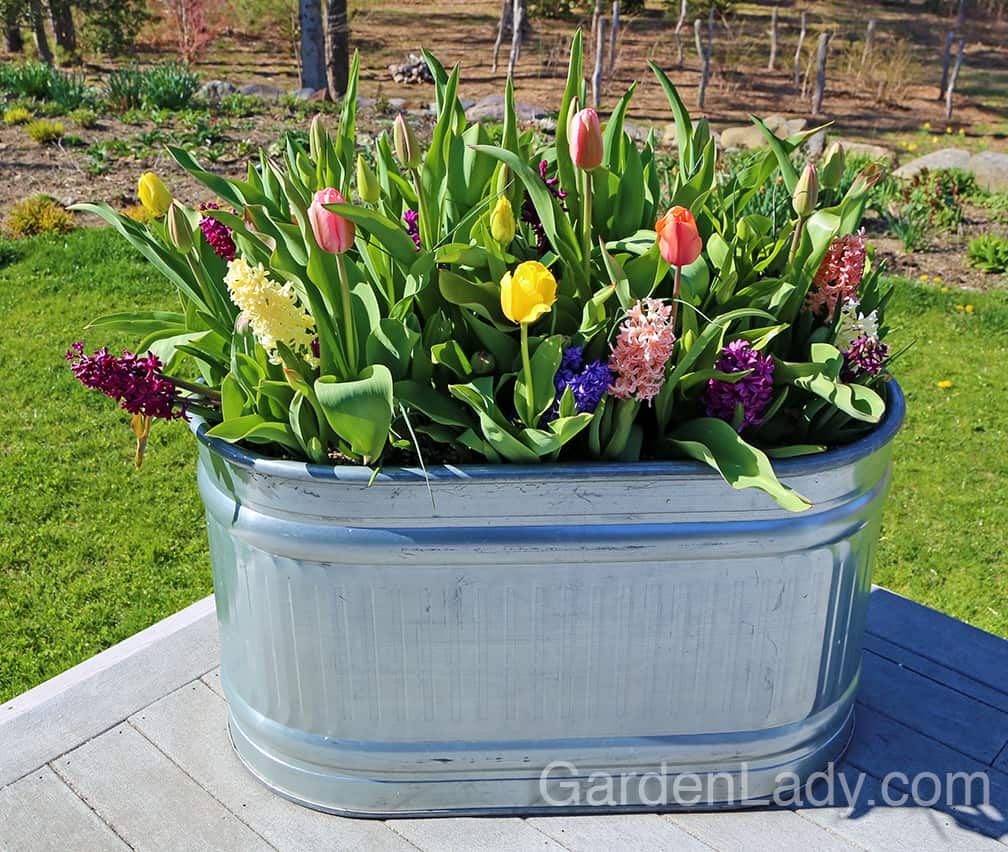 Many would plant these large troughs by the size of the flowers, moving from short on the outside to tall in the center. I decided to shake things up by planting them en masse... the short hyacinths are intermixed with taller tulips and alliums. The alliums might not even come into flower when the rest of the bulbs are blooming...I might even pull all of them out before the alliums bloom. Shake it up. Rock the boat.