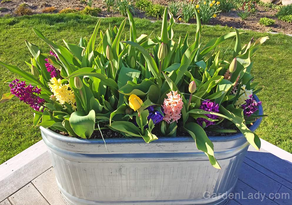 Since hyacinths flower before tulips, mixing these together in a jumble makes a pretty planting. The hyacinths emerge first and bloom while the tulips are getting going. As the hyacinths begin to fade and fall, the tulips take over the show.
