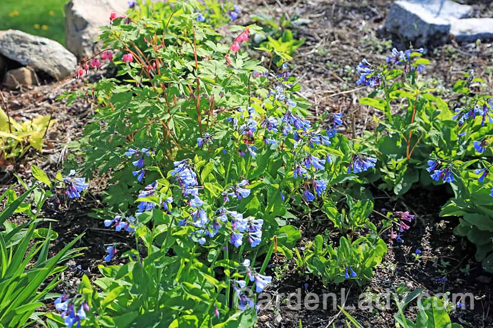 This photo shows how the plant self-seeds in the garden. The larger, blooming plants are the older ones, while the smaller plants that are mostly leaves are newly seeded and will flower next year. This plant travels around gently, never aggressively, and appreciates rich, moist soil.