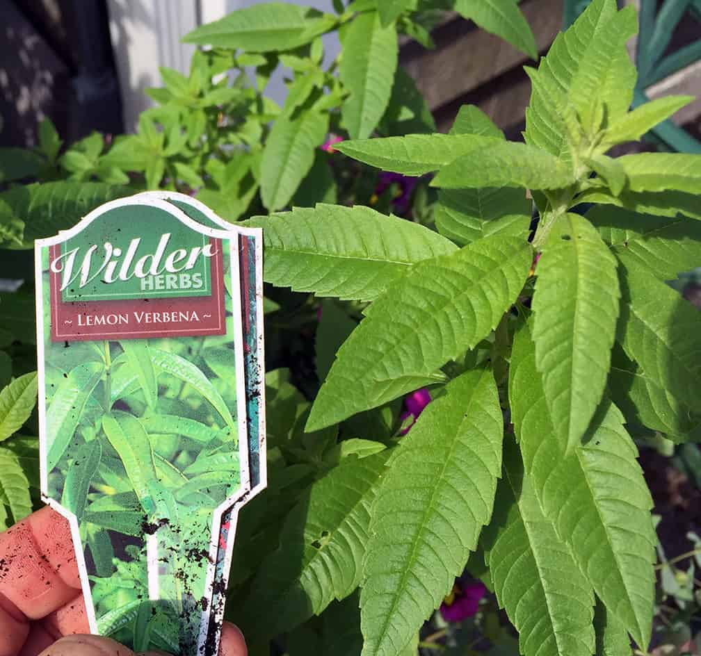 """If the tags get lost you can take your phone out to the garden and compare the foliage you see growing with your photo library. """"The tag says lemon verbena and yes, it does smell like lemons!"""""""