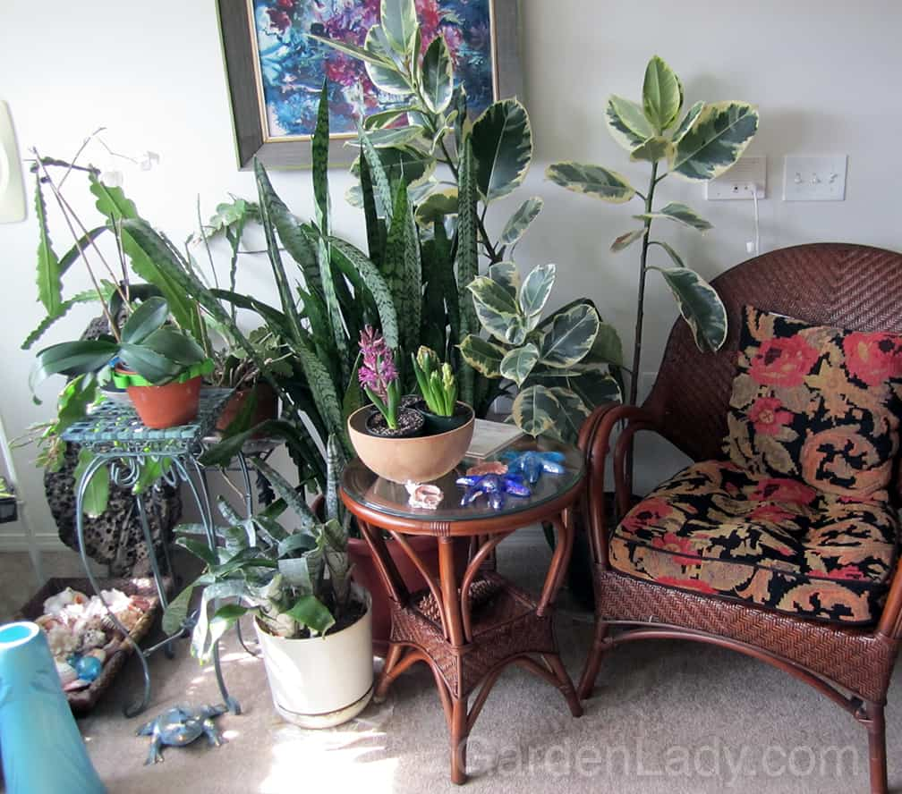 This is my mother's living room when she was in assisted living. On the far right, behind the shells and plants, you can see the driftwood, leaning against the wall.