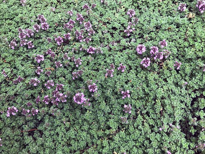 I Love Wooly Thyme