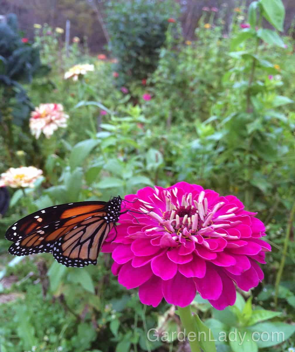 Zinnias are a favorite flower for many butterflies. Plant them to support the return of the Monarchs and others.