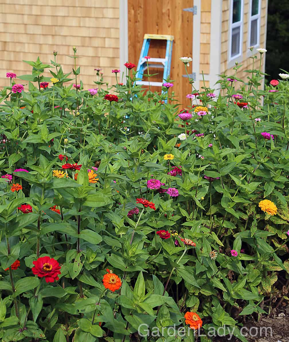 In a cutting garden you can plant zinnias close together. Plant seeds in the ground about 6 inches apart. Rows should be about two feet apart. Don't plant zinnia seeds too early in the spring - these are plants from Mexico so they like their HEAT!